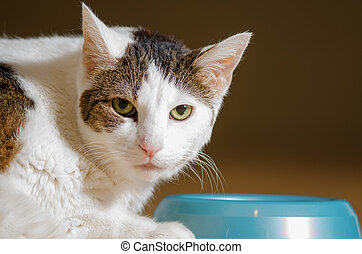 A white, indoors, domestic shorthaired cat laying down by her food bowl.