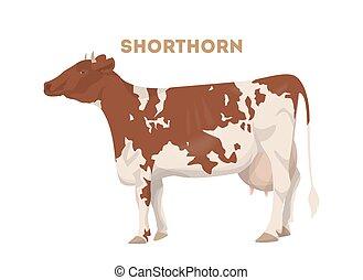 shorthorn, απομονωμένος , cow.