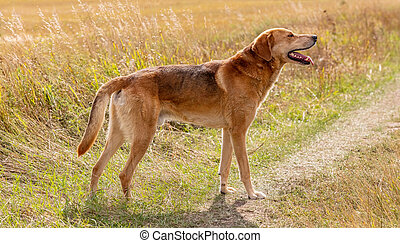 Shot of a brown hound dog posing in the country