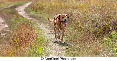 Shot of a brown hound dog running and hunting
