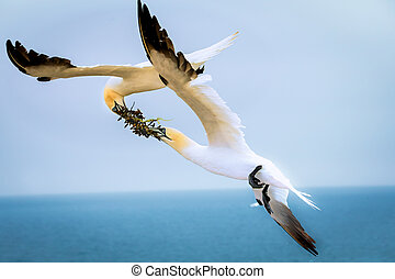 Two northern terns in flight in the wild