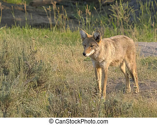 shot of a coyote in yellowstone np