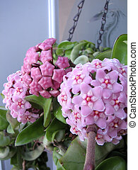 """Shot of a flower called """"Indian Rope"""" HOYA. It is a compact slow growing, well suited for baskets. Twisted leaves. The flower is 12mm across and comes in bunches of 20 to 40, hanging from along the stems. Very hardy and easy to grow. Shot of a flower called """"Indian Rope"""" HOYA. It is a compact slow ..."""
