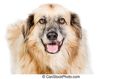 Shot of a Happy Large Crossbreed Dog against White...