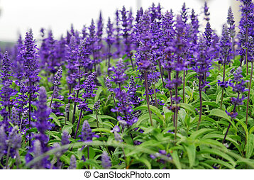 Blue Salvia - Shot of a perennial..., Blue Salvia (Salvia...
