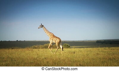 African Giraffe In The Wild