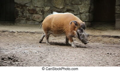 Bearded pig walk in cycles - Shot of Bearded pig walk in...