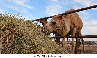 Camel eating on a ranch - Shot of Camel eating on a ranch