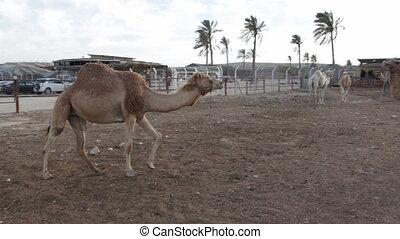 Shot of Camels ranch