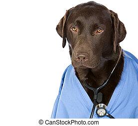 Dr Labrador - Shot of Dr Labrador with Copy Space