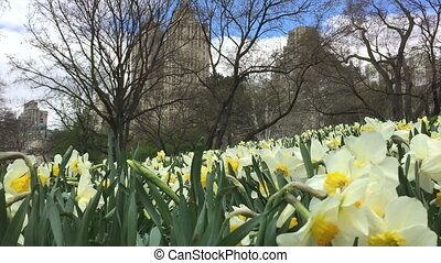 Flowers bloom on Central Park - Shot of Flowers bloom on...