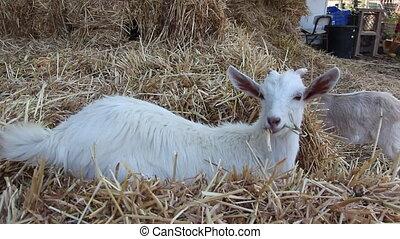 goat eating hay - Shot of goat eating hay