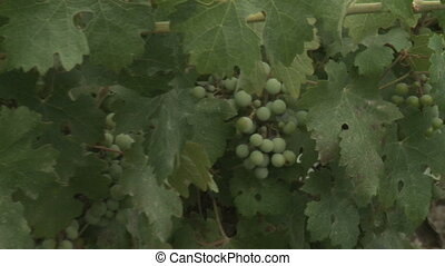 grapes - Shot of grapes
