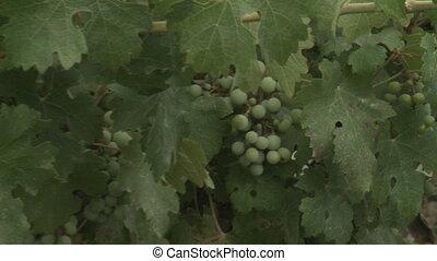 Shot of grapes