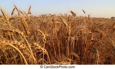 In a wheat field on sunset