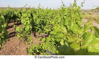 Israeli vineyard designated for the production of wine -...