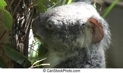 Koala eating - Shot of Koala eating