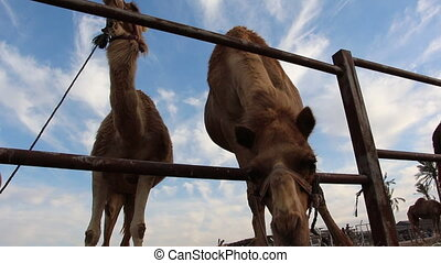 low angle on camels eating - Shot of low angle on camels...