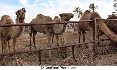 pan on camels in their ranch - Shot of pan on camels in...