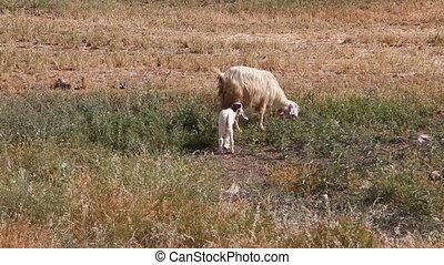 Sheep and lamb grazing - Shot of Sheep and lamb grazing