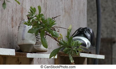 Closeup view on aged, wooden wall and shelves, accompanied with small shrub, growing outwards from leather shoe