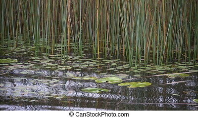 Shot of small waves going through reeds in water - Shot of...