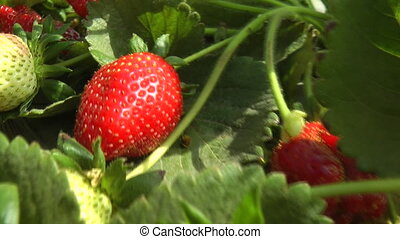 Strawberry field crops - Shot of Strawberry field crops