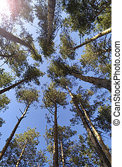Shot of tall trees framing the sky in the middle. Pine trees tops vertical on blue sky background.