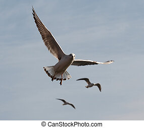 flying gull - Shot of the flying gull - laughing gull