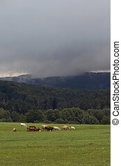 herd of cattle on a summer pasture
