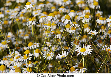 German chamomile - Shot of the meadow of German chamomile