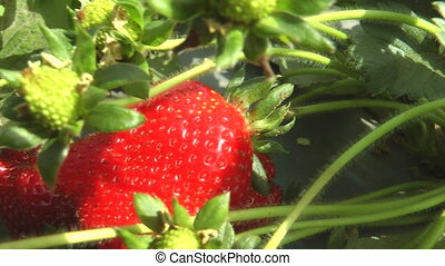 travelling shot over growing strawberries - Shot of...