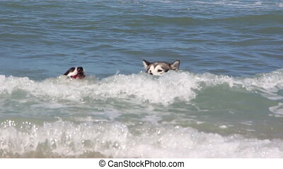 Shot of two dog swim to chase a ball at sea