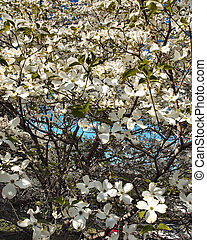 shot of white tree blossoms with element of sky