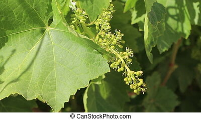Young grape clusters in the vineyard