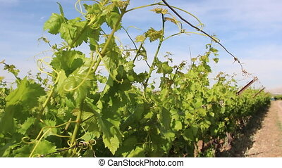 Young vines vineyard - Shot of Young vines vineyard