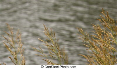 Shot panning from wheat to two ducks in the water - Shot...