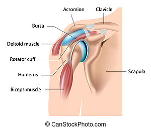 Shoulder bursa, bursitis, eps10 - main bursa of the shoulder...