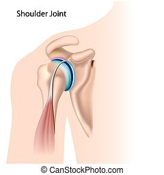 Shoulder joint - Diagram of the shoulder joint, eps8,