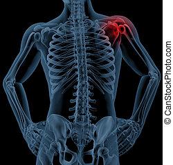 3D render of a medical skeleton with the shoulder joint highlighted