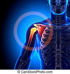 Shoulder / Scapula / Clavicle - Anatomy Bones