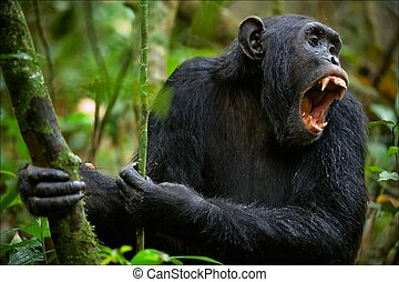 Shout. A chimpanzee, sitting in a thicket of green wood, loudly and with anxiety shouts.