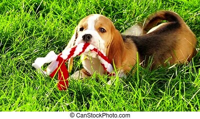 Show beagle on a natural green background playing with toy