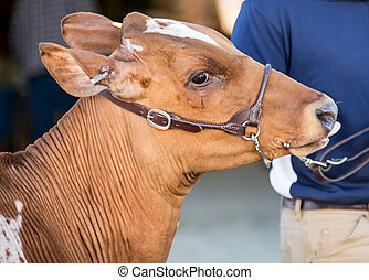 Show calf on a halter at a fair