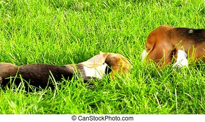 Show dog of breed of beagle on a natural green background....