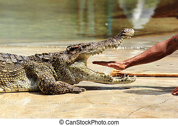 Show of crocodiles - THAILAND, SAMUTHPRAKARN -OCT 21, 2013:...