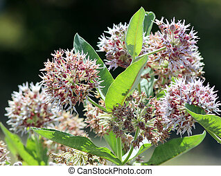 Showy Milkweed - Asclepias speciosa