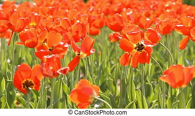 Showy spring blooming tulips