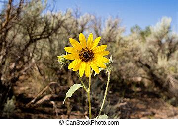 Showy sunflower in desert of New Mexico.