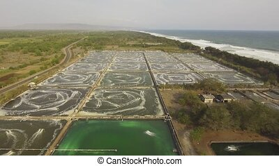 shrimp farming in indonesia - shrimp, prawn farming with...